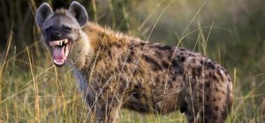 Hyena-Main-1000x469