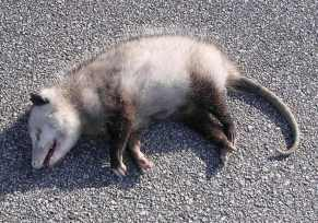 roadkill possum