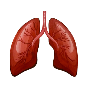 07_Organs_Lungs_Front.pdf_1600x