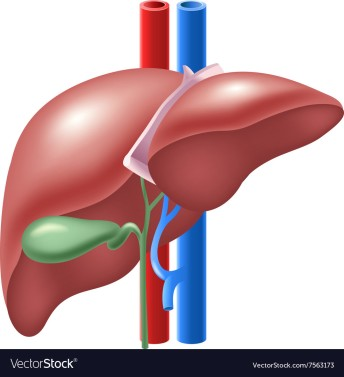 cartoon-of-human-liver-and-gallbladder-vector-7563173